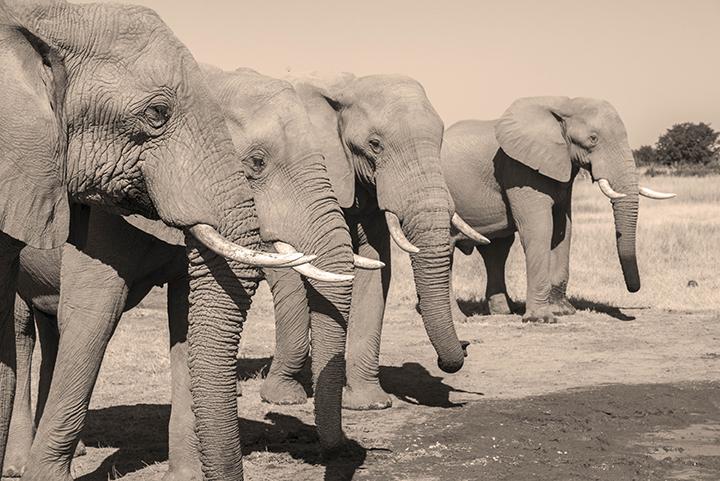 Elephant LineUp
